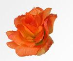 Ruže oranžová s rosou Fotografováno pro 3D efekt